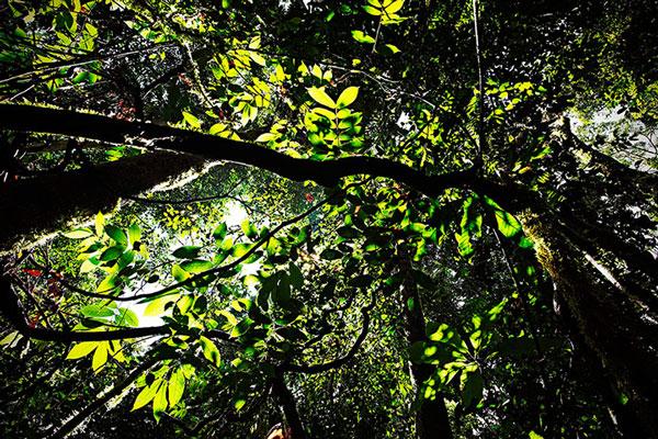 Cây phát triển mạnh trong khu rừng nhiệt đới ở Danum Valley Par trên đảo Borneo, Malaysia.
