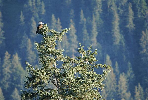 Một con đại bàng ngồi trên cây vân sam Sitka ở Alaska. Đây là loài cây lá kim lớn, có chiều cao lên đến 80m. Vân sam Sitka lớn nhất trong họ vân sam và là loài cây lớn thứ năm trên thế giới. Cây vân sam sống lâu, có cây trên 700 năm tuổi. Vân sam Sitka có nguồn gốc ở vùng bờ biển phía tây của Bắc Mỹ.