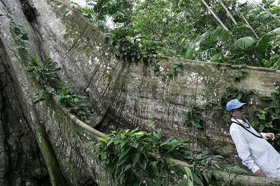 """Tổng thư ký Liên Hợp Quốc Ban Ki-moon đi ngang qua một cây trăm năm tuổi, được gọi là """"Sumauma"""", trong một chuyến đi đến khu rừng nhiệt đới tại đảo Combu, Amazon, gần phía bắc thành phố Belem, Brazil. Theo các nhà khoa học, tán cây lớn trong rừng Amazon cho biết nhiều cây ở đây dao động từ 400 đến 1.400 năm tuổi. Nhiều cánh rừng ở Amazon bị phá hủy ảnh hưởng nghiêm trọng đến các cây lớn, tác động lớn đến hệ sinh thái rừng nhiệt đới."""