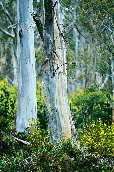 Cây bạch đàn Tasmanian blue gum cao thứ sáu trên thế giới với chiều cao 90,7m. Loài cây này được trồng chủ yếu ở Australia.