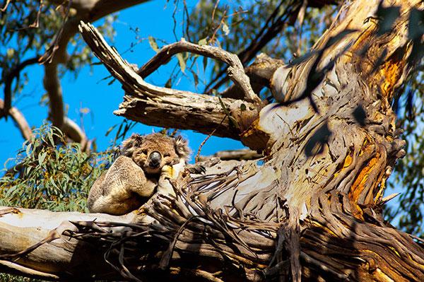 Một con koala ngủ trên cây bạch đàn.
