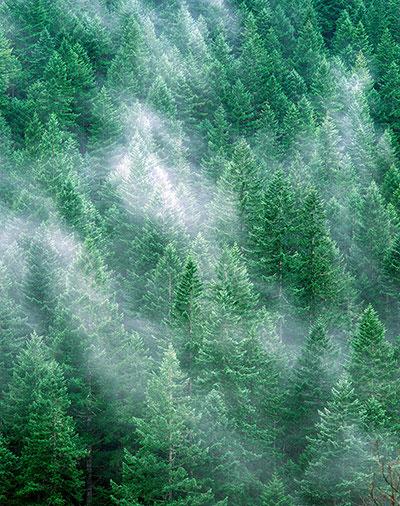 Sương mù ở khu rừng linh sam douglas già trong vườn quốc gia Olympic, phíaTây Bắc Thái Bình Dương. Linh sam douglas duyên hải thuộc họ thực vật hạt trần, cao thứ 2 trên thế giới (chỉ đứng sau tùng bách duyên hải).