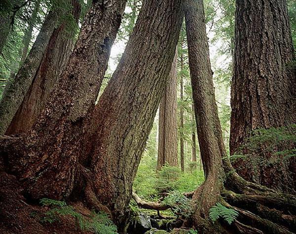 Linh sam douglas trong rừng nhiệt đới Sol Duc ở công viên quốc gia Olympic, Washington. Nó được ghi nhận là cây cao nhất thứ ba trên thế giới, có cây cao 99.4m ở Oregon, Hoa Kỳ. Loài cây này thường sống hơn 500 năm và đôi khi hơn 1.000 năm.