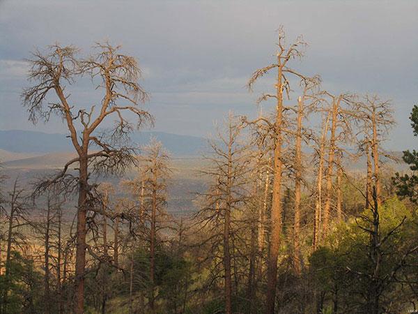 Hạn hán và biến đổi khí hậu đang khiến nhiều khu rừng trên thế giới chết mòn. Bức ảnh này cho thấy những cây thông ponderosa chết khô ở vùng núi Jemez, New Mexico do hạn hán và cuộc tấn công của bọ cánh cứng.