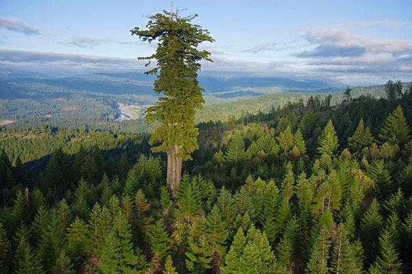 Tùng bách (redwood) là cây cao nhất thế giới, nó có thể đạt chiều cao hơn 115 m. Tùng bách còn có các tên khác như tùng bách duyên hải (coast redwood), tùng bách California (California redwood). Trong ảnh là rừng tùng bách già trong công viên quốc gia tùng bách ở Humboldt, California.