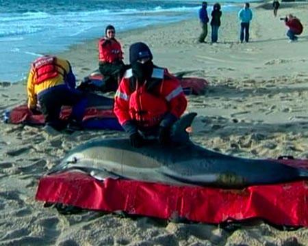 Hàng loạt cá heo chết bất thường ở Mỹ