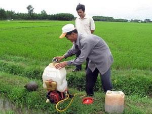 Dùng nấm xanh phòng trừ hiệu quả sâu bệnh hại lúa