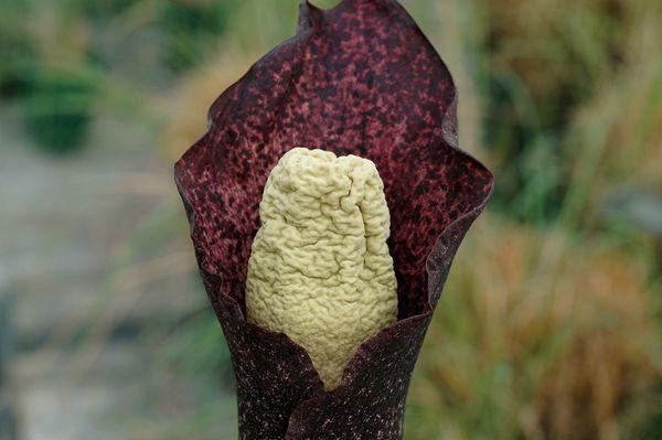 Kỳ lạ loài hoa có mùi xác thối