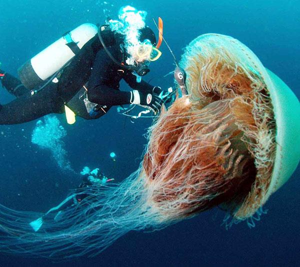 Thực hư mối đe dọa của sứa