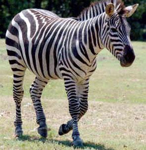 Tại sao ngựa vằn lại có… vằn?
