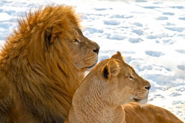 Sư tử châu Phi làm quen với tuyết lạnh ở Canada
