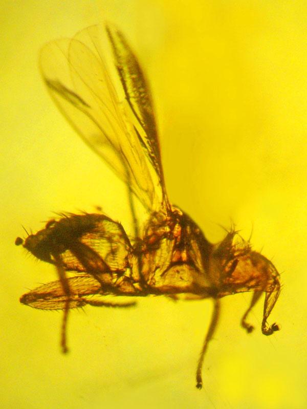 Hóa thạch ruồi dơi được bảo quản trong hổ phách.