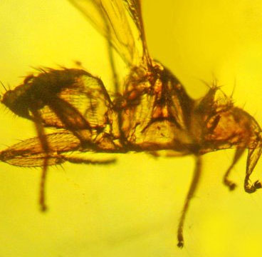 """Phát hiện hóa thạch ruồi """"ma cà rồng"""" cổ đại"""