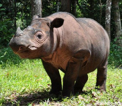 Thêm hy vọng nhân giống thành công tê giác Sumatra