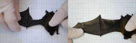 Cánh dơi bi rách (trái) - Cánh dơi liền lại mà không cần dùng đến keo dán, chỉ may (phải)