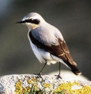 Loài chim nặng 25g bay tới 29.000km để tránh rét