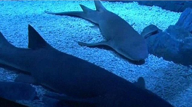Video: Cận cảnh cá mập sinh con