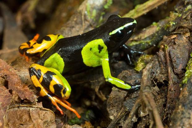 Tại sao ếch độc lại tiết ra đường và mật ở ngoài da?