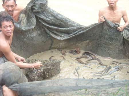 Nhân nuôi thành công cá trê suối Phú Quốc