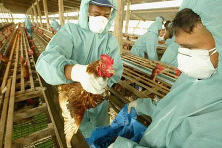 WHO công bố nghiên cứu biến thể virut cúm gia cầm H5N1