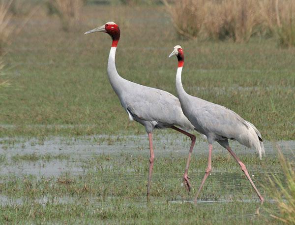 Sếu đầu đỏ bắt đầu về vườn quốc gia Tràm Chim
