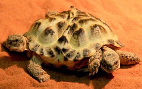 Rùa có hai đầu và sáu chân