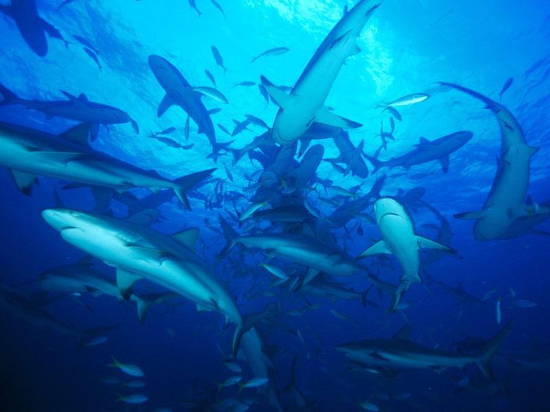 Cá mập cũng cần bạn bè