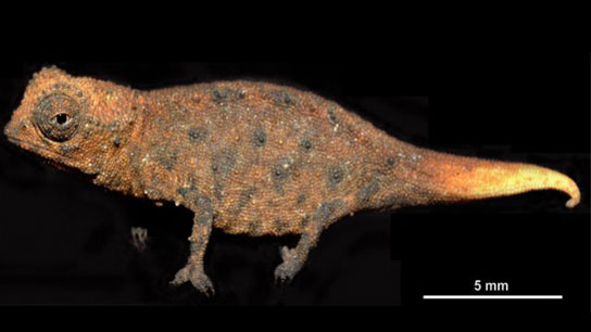 Cận cảnh loài Brookesia micra