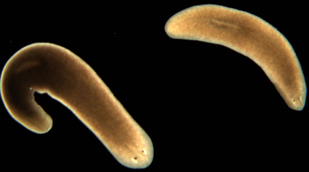 Mọi bộ phận trên cơ thể giun dẹt Schmidtea mediterranea đều có thể tái sinh.