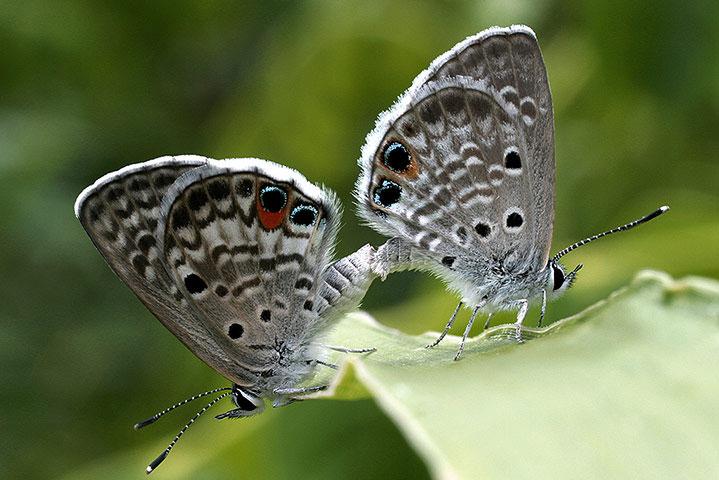 Hai con bướm Miami tại công viên Bahia Honda ở Florida Keys. Đây là lần đầu tiên loài bướm này xuất hiện trở lại từ năm 2010. Tháng 8 năm ngoái, chúng đã được liệt vào danh sách động vật có nguy cơ tiệt chủng.