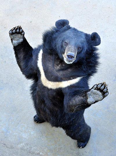 Một con gấu đứng bằng hai chân tại trang trại của hãng dược phẩm Guizhentang, Quảng Châu (Trung Quốc). Đây là công ty chuyên lấy mật gấu sống. Tuần trước, Guizhentang đã phải công khai một trong số những cơ sở lấy mật gấu của mình trước báo giới để làm dịu sự chỉ trích của dư luận.
