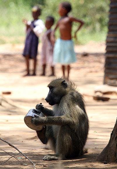 Một con khỉ đầu chó cạo nồi tìm thức ăn ngay trước mặt lũ trẻ ở Chirundu, biên giới Zimbabwe và Zambia. Tại đây, khỉ đầu chó hoành hành cướp phá, dẫn đến tình trạng vô cùng hỗn loạn. Do số lượng quá lớn, việc quản lý những con khỉ này vô cùng khó khăn.