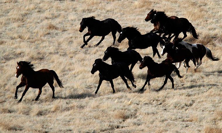 Loài ngựa hoang tại sa mạc phía tây Utah, Mỹ. Cục quản lý đất đai của khu vực đang cố bắt lại 470 con ngựa nhằm kiểm soát số lượng của chúng. Những con ngựa bị bắt sẽ được tiêm thuốc tránh thai và được thả về rừng, một số sẽ được nhận nuôi.