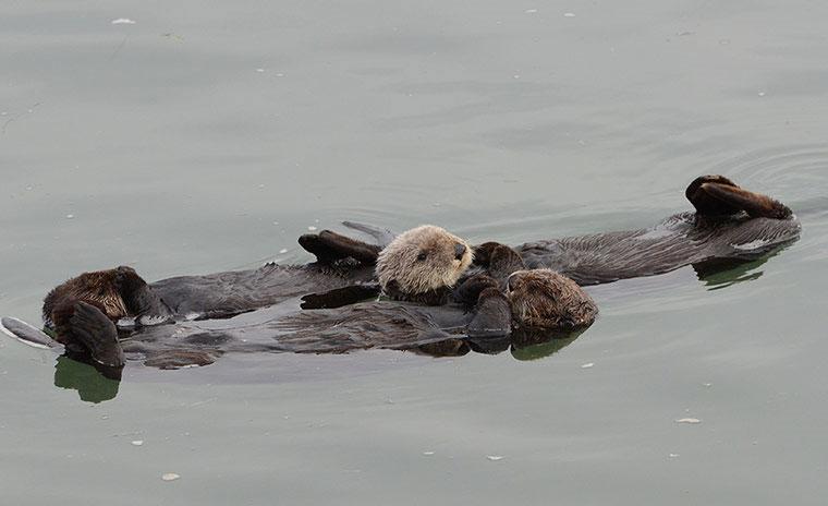 Giấc ngủ của gia đình rái cá trên một dòng sông ở Moss Landing, California (Mỹ). Một số loài động vật có vú như rái cá nghỉ ngơi bằng cách thả mình nằm ngửa trên mặt nước, cho tới khi bị trôi dạt vào bờ, chúng lật ngược mình lại và lặp lại quá trình trước đó.