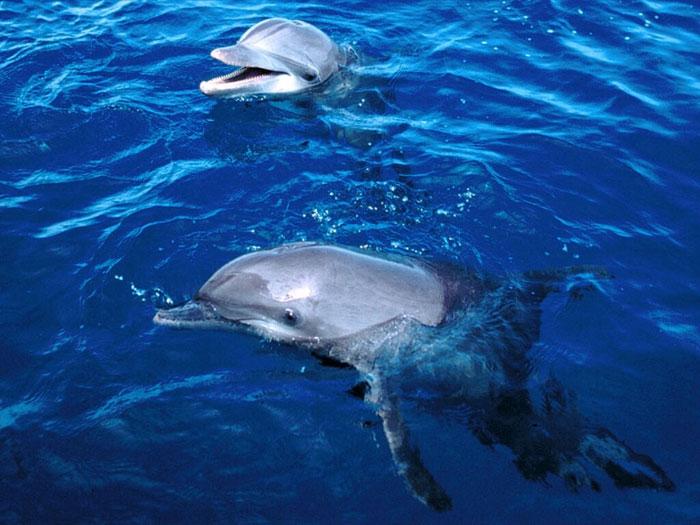 Loài cá heo huýt sáo để lưu nhớ đặc điểm đồng loại