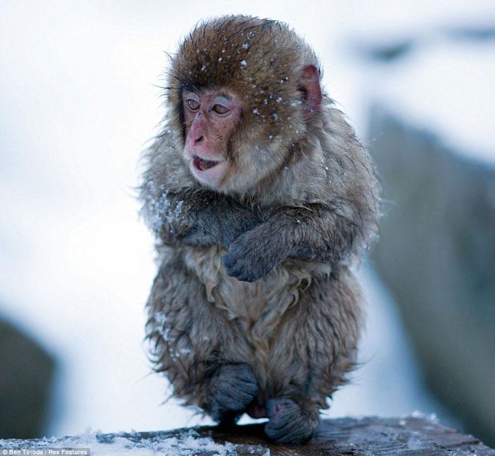Khỉ tuyết co ro trong tuyết lạnh.