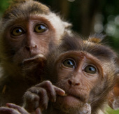 Khỉ hoang nổi loạn, tấn công người