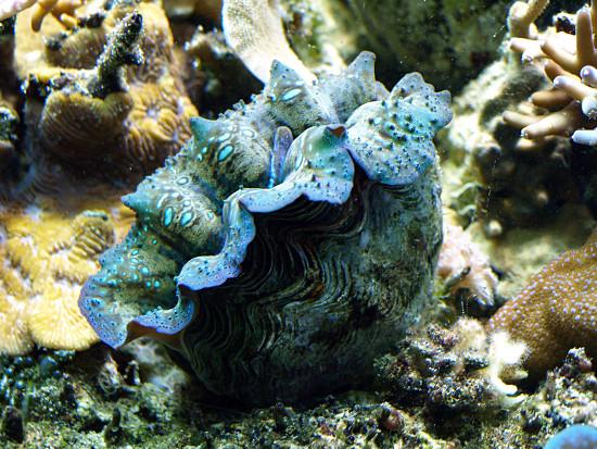 """Những """"đôi môi"""" ấy chính là loài nghêu khổng lồ phương Nam (tên khoa học: Tridacna derasa), còn được gọi là trai tượng."""
