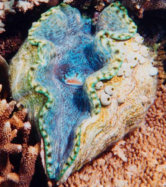 Chúng sinh sống chủ yếu ở vùng biển nhiệt đới ở Đông Nam châu Á và phía Nam Australia, trong đó có khu vực Biển Đông của Việt Nam.