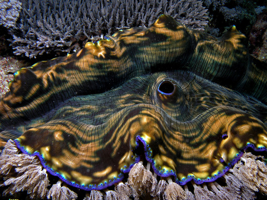 Nghêu khổng lồ tồn tại chủ yếu bằng cách hấp thụ các hợp chất hữu cơ được hòa tan trong nước qua lỗ miệng của mình.