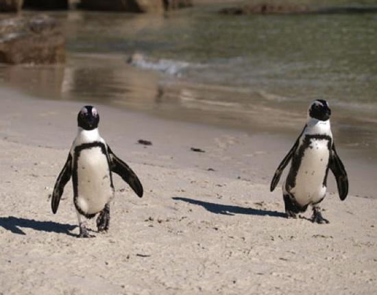 Chim cánh cụt ở Nam Phi