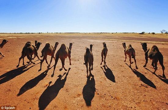 Lạc đà Australia