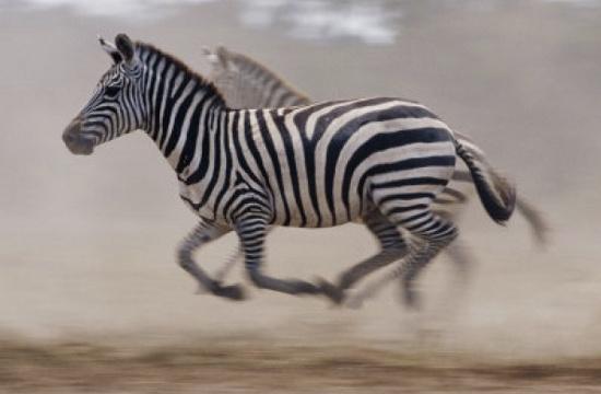 Ngựa vằn ở Texas