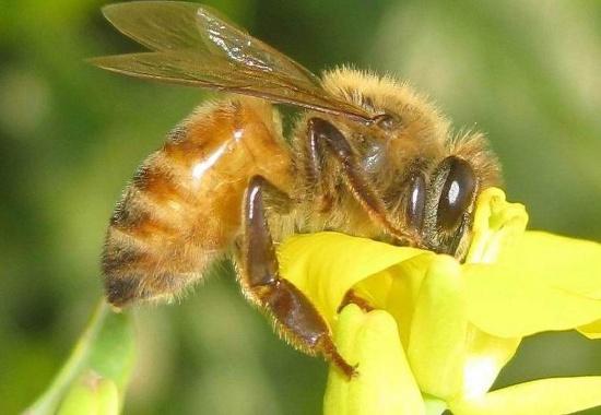 Nếu ong ăn phấn hoa nhiễm chất neonicotinoid, hệ thần kinh của chúng sẽ bị phá hủy khiến chúng không thể nhớ đường về tổ nếu bay ra ngoài.