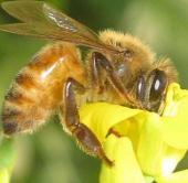 Ong mật quên đường về tổ vì thuốc trừ sâu
