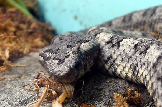 Đó là rắn lục sừng (Trimeresurus cornutus), một loài rắn có kích cỡ trung bình thuộc họ rắn lục.