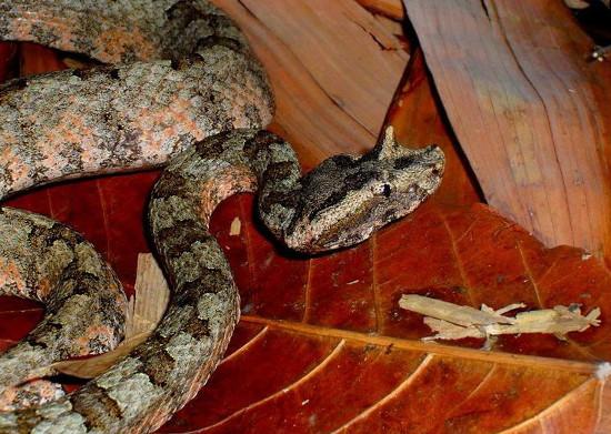 Loài rắn này chỉ xuất hiện tại một số vùng núi cao của Việt Nam, chưa được ghi nhận ở địa điểm nào khác trên thế giới.