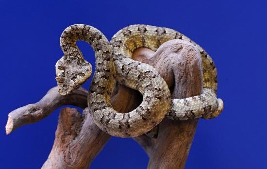 Rắn lục sừng là một loài rắn độc. Tìm cách bắt hoặc trêu chọc chúng là điều khá nguy hiểm.