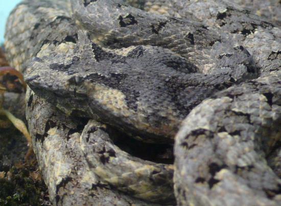 Đây cũng là một loài rắn rất hiếm, có giá trị cao về nghiên cứu khoa học.