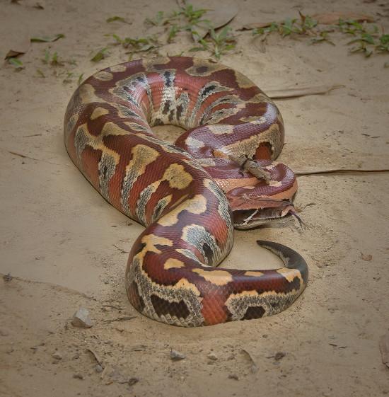 Đó là trăn cộc (Python curtus), một loài trăn đặc trưng bởi hình dặng ngắn và mập mạp.
